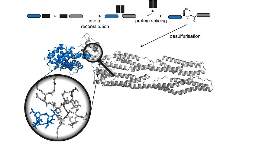 techniques to generate site-specifically labeled and modified proteins  for structural biology of key proteins in neurodegeneration and muscle  disease